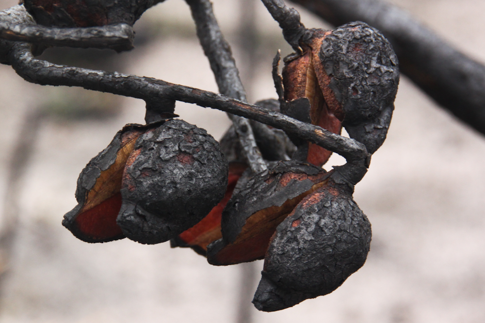 how to use fire seed